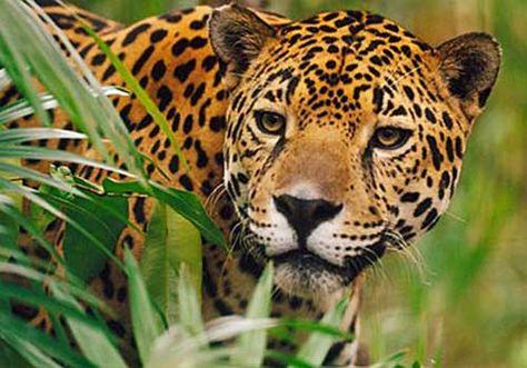 100 Ideas De Animales Animales Fotografía De Vida Silvestre Tigre De Java