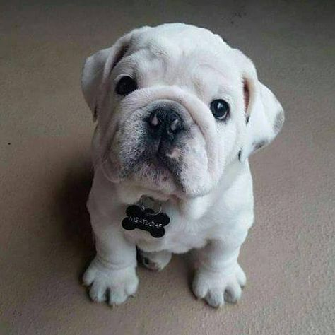 The major breeds of bulldogs are English bulldog, American bulldog, and French bulldog. The bulldog has a broad shoulder which matches with the head. Cute Puppies, Cute Dogs, Dogs And Puppies, Doggies, Puppy Care, Pet Puppy, English Bulldog Puppies, French Bulldog, White Bulldog