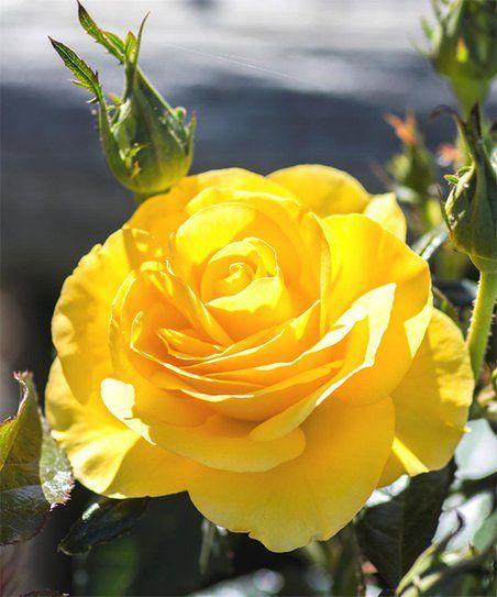 Easy Going Rose Bush Yellow Rose Easy Going Easy Going Rose Photo Bloom Where Youre Planted Rose Easy Garden