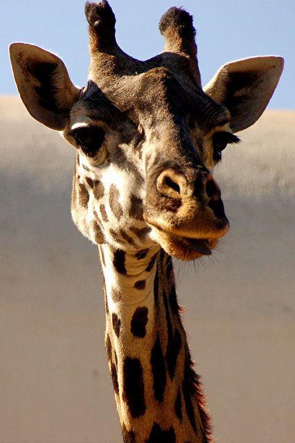 Прикольные картинки на аву жирафа, весенние