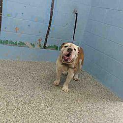 San Bernardino Ca English Bulldog Meet Urgent On 3 26 San