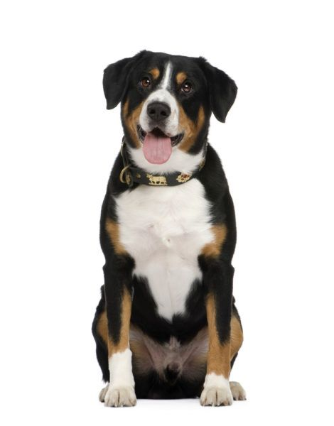 Entlebucher Puppies For Sale Entlebucher Entlebucherpuppies Entlebucherpuppiesforsale Dogbreedsmedi Entlebucher Mountain Dog Dog Breeds Dog Breeds Medium