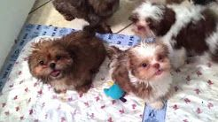 Shih Tzu Puppies For Sale Near Me Find The Best Places To Buy Near You Shih Tzu Puppy Shih Tzu Puppies