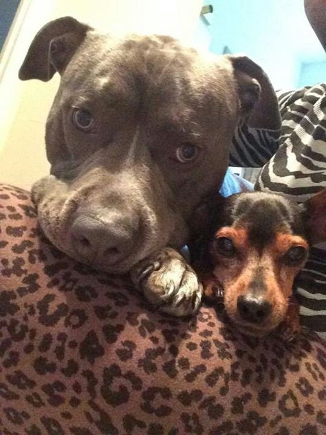 Pit Bulls And Itty Pitties Mr Spartacus And His Uncle Pooney From