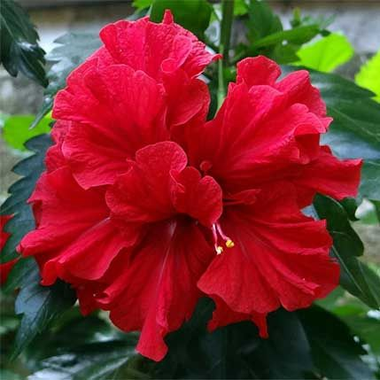 Red Althea Tree Hibiscus Plant Hibiscus Flowers Hibiscus Rosa Sinensis