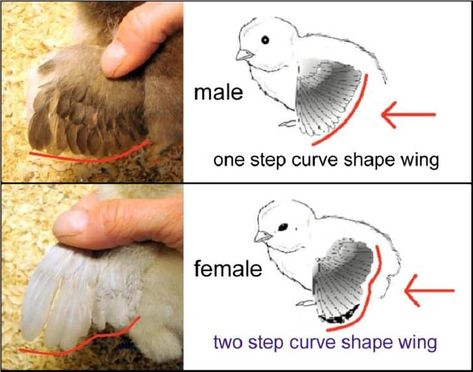 How to Sex Chickens: 6 Ways to Determine Hen Or Rooster Chicken Garden, Backyard Chicken Coops, Chicken Coop Plans, Diy Chicken Coop, Chicken Pen, Inside Chicken Coop, Chicken Coop Pallets, My Pet Chicken, Small Chicken Coops