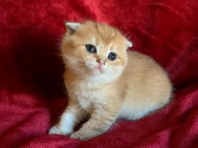 Scottish Folds Female Scottish Fold Kitten For Sale In Pennsylvania United States Profile Id In 2020 Scottish Fold Kittens Scottish Fold Cat Kittens Scottish Fold