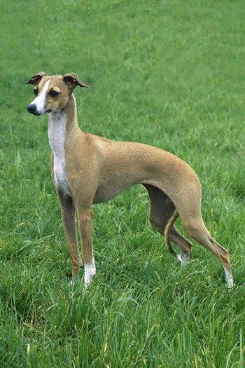 60 Dog Breeds That Don T Shed Small Medium Large Breeds Dog Breeds Greyhound Dog Breed Large Dog Breeds