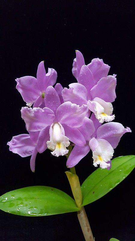 Cattleya Harrisoniana Aquinii Beautiful Orchids Purple Flowers Garden Beautiful Flowers