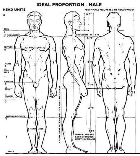 Male proportion.  - The body width = 2 1/3 heads  - The body height = 8 heads  - Distance between nipples on chest = 1 head  - Width of calf muscles together at lower arc = 1 head  - Bottom of the knees = 2 heads from ground level