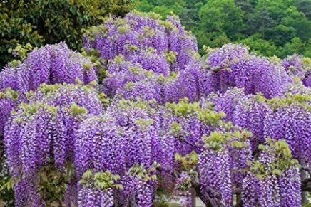 8 Ideas To Organize Your Own Purple Flowers For Sale In 2020 Purple Flowers Garden Wisteria Plant Types Of Purple Flowers