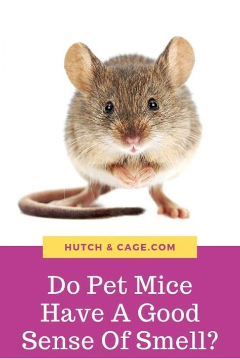 Do Mice Have A Good Sense Of Smell? | Hutch and Cage