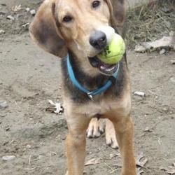 Voorhees Nj Beagle Meet Bodie A Dog For Adoption Pet