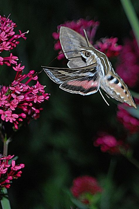 Hummingbird Moth... There are two types: Hemaris, a genus of Sphinx moths in the Northern Hemisphere, and Macroglossum stellatarum (the Hummingbird Hawk-moth or the Hummingmoth) in the 'Old World' (parts of Europe, Asia, and Northern Africa).