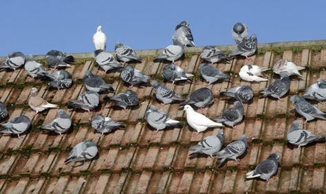 How To Get Rid Of Pigeons Naturally Pigeon Control Get Rid Of Pigeons Pigeon Nest Pigeon Bird