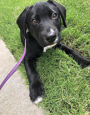 Chicago Il Labrador Retriever Meet Linus A Pet For Adoption