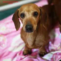 Pin by The Rutledge Firm on ADOPTABLE DACHSHUNDS | Pets