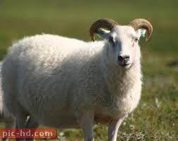 صور الخروف معلومات عن الخروف Animals Pics Lamb