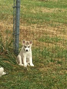 Siberian Husky Puppy For Sale In Joplin Mo Adn 52416 On