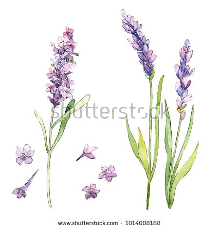 Stock Photo Wildflower Lavender Flower In A Watercolor Style Isolated Full Name Of The Plant Lavender A Watercolor Flowers Lavender Flowers Flower Painting