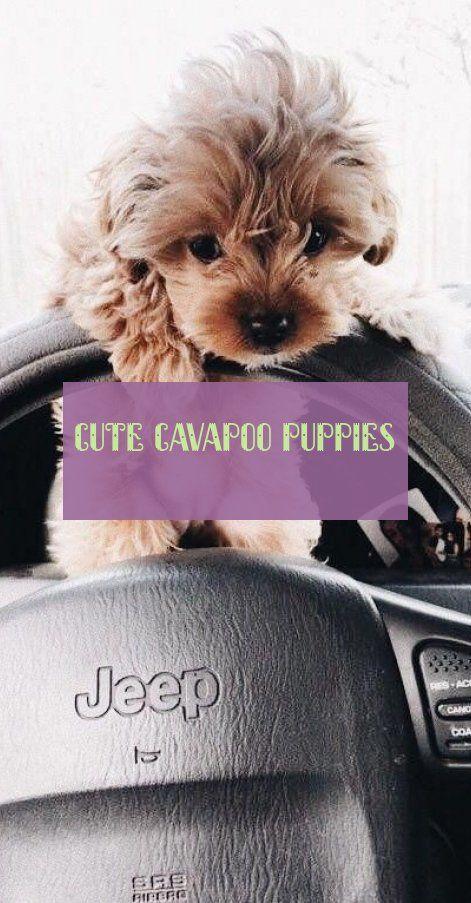 Cute Cavapoo Puppies Susse Cavapoo Welpen Baby Tips Shower Ideas Cavapoo Puppies Cavapoo Puppies