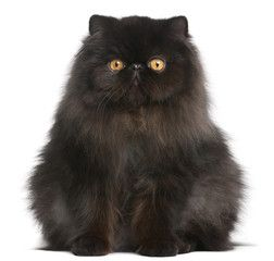 Persian Cat 9 Months Old In Front Of White Background Black Cat Breeds Cat Breeds Persian Kittens