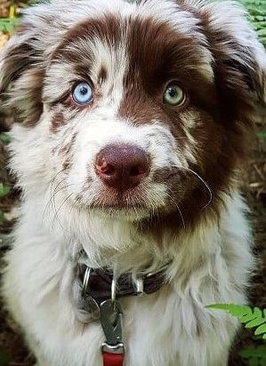 Pin By Annette Palli On Australian Shepherds Aussie Dogs Australian Shepherd Puppies Herding Dogs