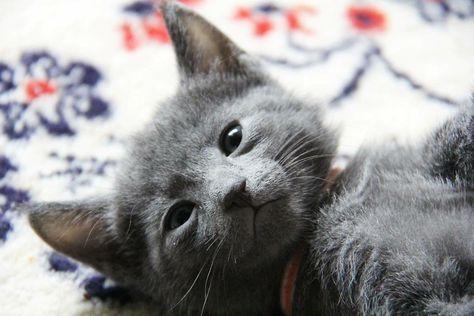Artus  #russischblau #russianblue #katzen #cats