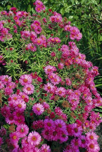 Aster Andenken An Alma Potschke Aster Novae Angliae Dorasta Do 1 M Plants Perennial Garden Aster