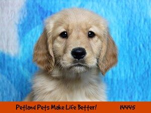 Dogs Puppies For Sale Petland Chicago Ridge Illinois Pet Store Puppies For Sale Pet Store Puppies