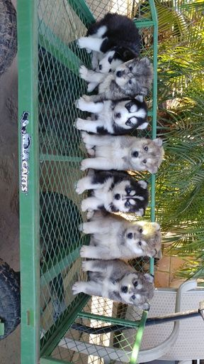 Litter Of 7 Siberian Husky Puppies For Sale In Fresno Ca Adn 67897 On Puppyfinder Com Gender Male S Husky Puppies For Sale Puppies For Sale Siberian Husky