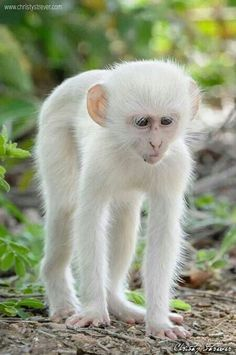 Albinism is an genetic disorder characterized by a lack of melanin in the body, the body's color producing pigment. It is extremely rare. Here's a list of 125 rare albino animals. Cute Baby Animals, Animals And Pets, Funny Animals, Wild Animals, Strange Animals, Rare Albino Animals, Cute Monkey, Small Monkey, Tier Fotos