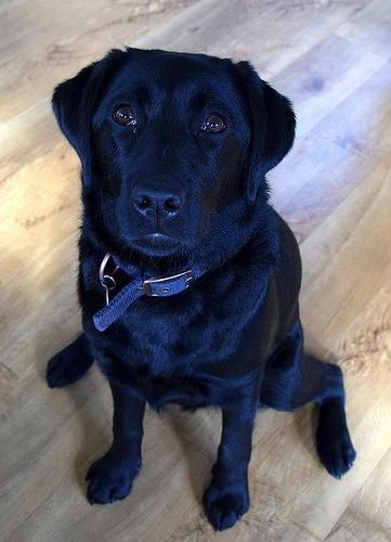 Labrador Hashtags You Want This Zilverenlabradorpuppies Zwartelabradorpuppiestekoop Labradoradoption Labrador Labrador Retriever Labrador Puppy