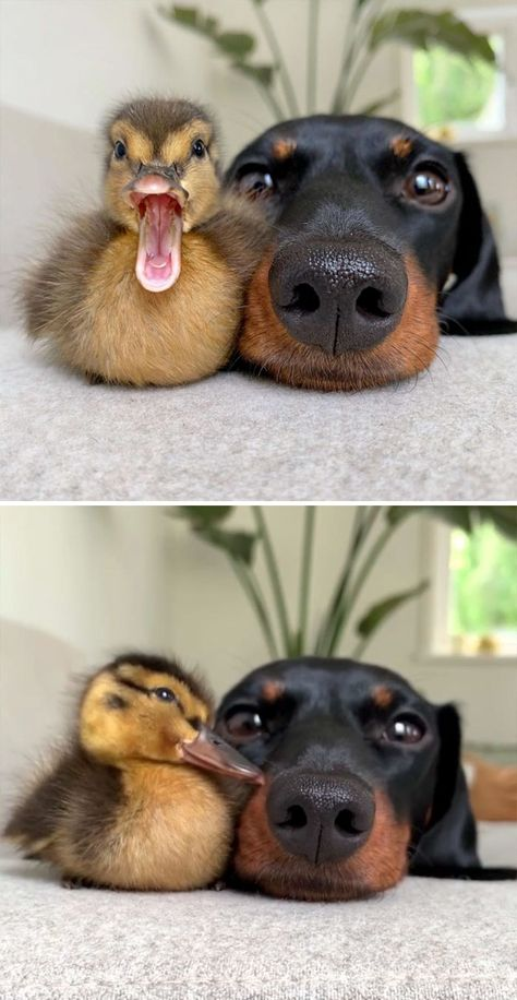 35 Wholesome Duck Pics That Will Hopefully Make You Smile – Tiere Baby Animals Super Cute, Cute Little Animals, Cute Funny Animals, Baby Animals Pictures, Cute Animal Pictures, Animals And Pets, Farm Animals, Eagle Pictures, Animal Pics