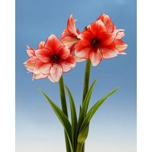 Bloomsz 26 28 Cm Amaryllis Royal Velvet 08074 The Home Depot Bulb Flowers Amaryllis Flower Garden Plants