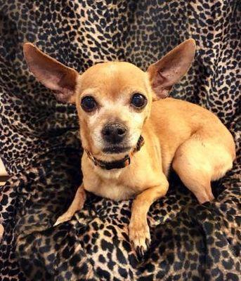 Kansas City Mo Chihuahua Meet Champ A Dog For Adoption