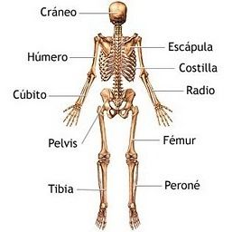 Sistema Osea Parte Posterior O Trasera O De Espaldas Human Body Unit Anatomy And Physiology Anatomy