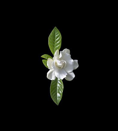 Beautiful White Gardenia Flower Closeup Isolated On Black Vertical In 2020 White Gardenia Gardenia Amazing Flowers