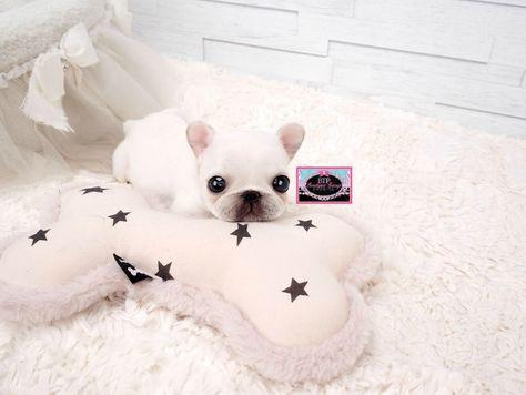 Lil Gabbie 3 Outstanding Bear Face Micro White Pomeranian
