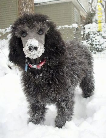 Close Up Front View A Black Standard Poodle Puppy Is Standing In