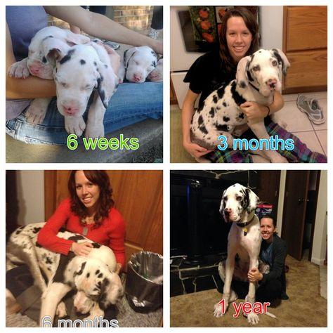 My Little Sis Wants A Great Dane I Hope She Gets One Dane Dog