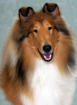 Male Collie Puppies For Sale Collie Stud Service In Pennsylvania Collie Puppies For Sale Collie Puppies Rough Collie
