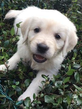 Golden Retriever Puppy For Sale In Lakeland Fl Adn 58344 On
