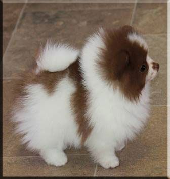 Chocolate and White Pomeranian...I NEED her!