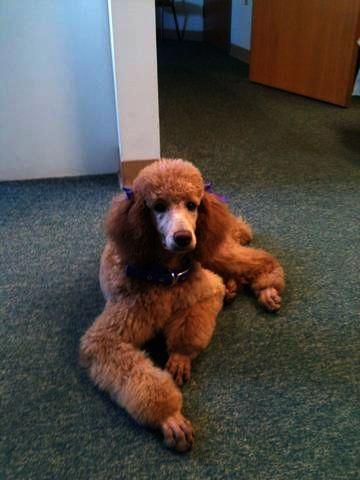 Pin By Debbie Davis On Dogs Poodle Poodle Puppies For Sale Dogs
