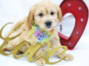 Dogs Puppies For Sale In Wichita Kansas Petland Wichita Pet Store In 2020 Puppies For Sale Pet Store Puppies