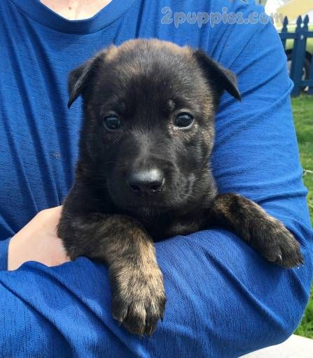 Find Your Dream Puppy Of The Right Dog Breed At Dutch Shepherd Dog Dogs Dog Breeds