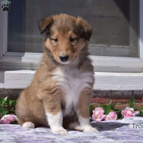 Trooper Collie Puppy For Sale In Pennsylvania Collie Puppies