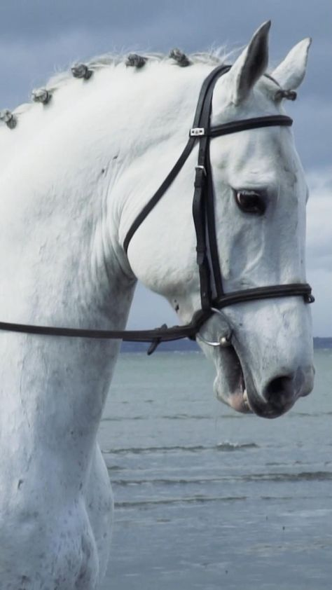 The Irish Draught is a rare breed from Ireland. Known for their strength and gentle temperament. Learn more about the amazing breed on DiscoverTheHorse! #IrishDraught #HorsebackRiding #Equestrian