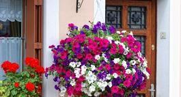 Million Bells Hanging Flower Baskets Plants For Hanging Baskets Hanging Plants